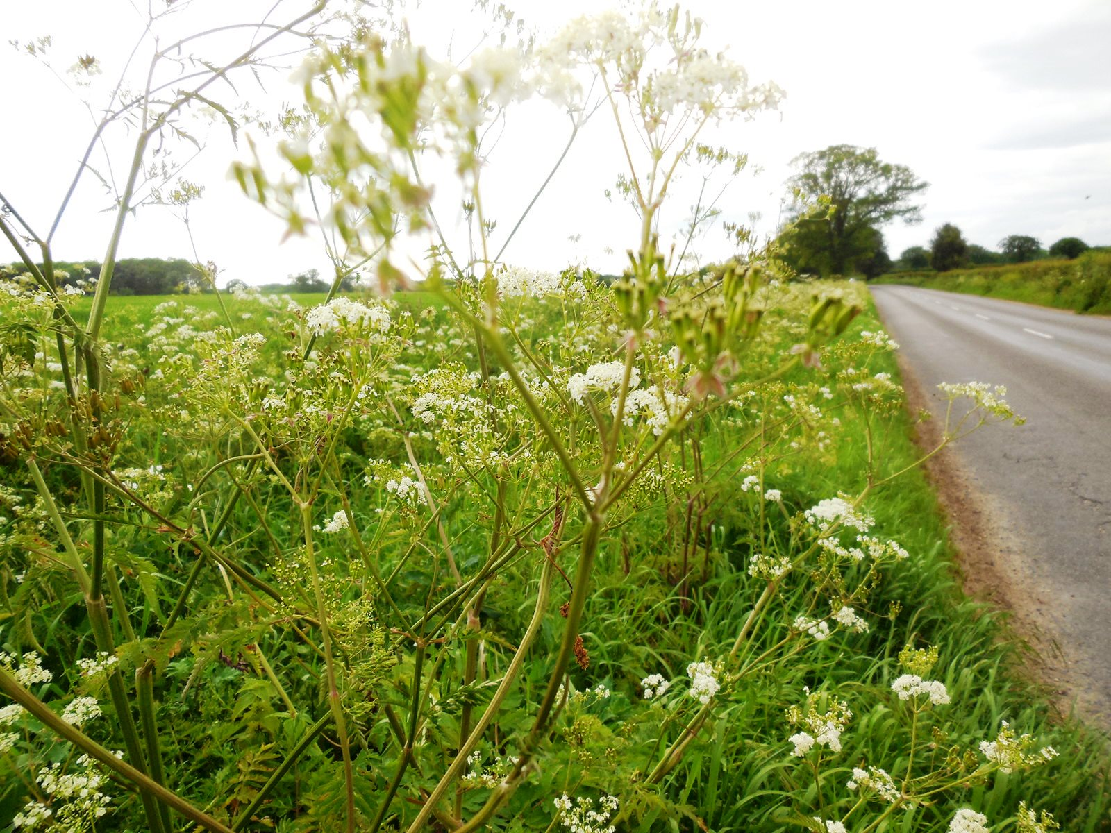 cow parsley prim corner