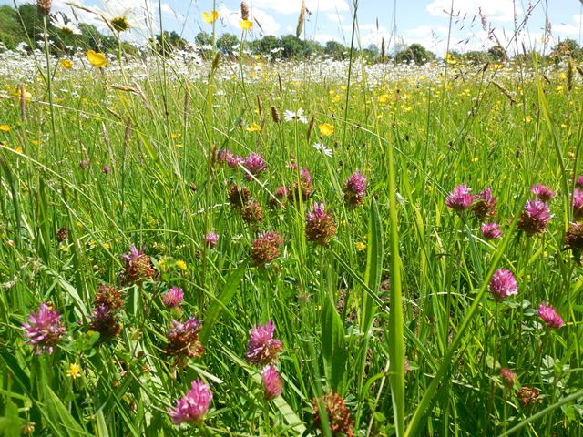 traditional norfolk hay meadow at fritton common - Copy
