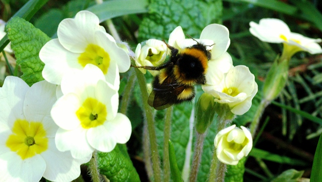 bumble-bee-on-primrose-s