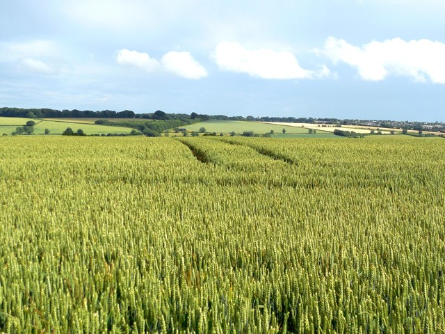 wheat-2-rollright-oxfordshire-640